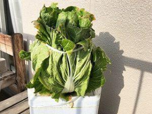 白菜 Chinese cabbage