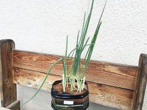 細ネギ green onion