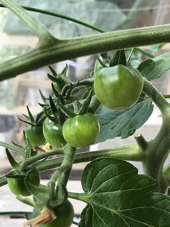 プレミアムルビー アタリヤ農園 ミニトマト 種まき Cherry tomato