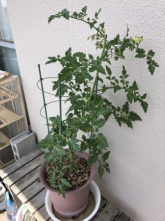 トスカーナバイオレット Toscana violet 紫色 ミニトマト 種まき Cherry tomato
