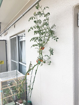プレミアムルビー アタリヤ農園 水耕栽培 ミニトマト 種まき Cherry tomato
