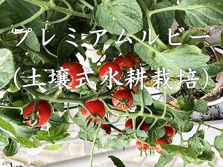 プレミアムルビー、水耕栽培、土壌式水耕栽培、ミニトマト,ベランダ,家庭菜園,やり方,日数,アタリヤ農園,Cherry tomato、