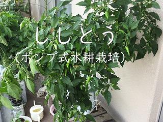 ししとう、獅子唐、green pepper