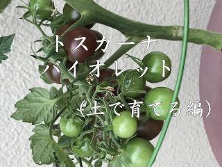 トスカーナバイオレット、紫色、Toscana violet、ミニトマト,ベランダ,家庭菜園,やり方,日数,道具,簡単,