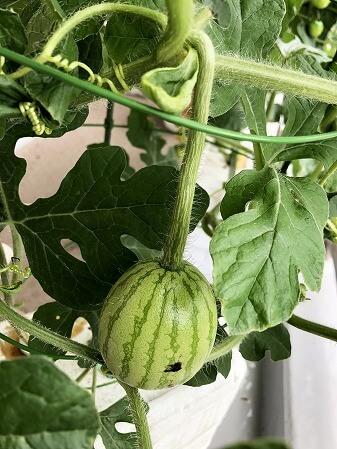 スイカ 夏武輝  Japan  watermelon 西瓜 発芽