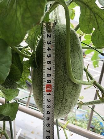 嘉宝西瓜 小玉スイカ Japan  watermelon 西瓜