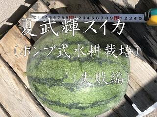スイカ 夏武輝 水耕栽培 Japan  watermelon