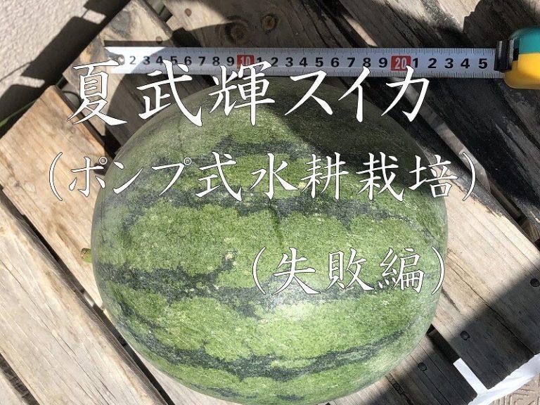 夏武輝、スイカ、西瓜、大玉スイカ、kabuki watermelon ,水耕栽培