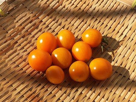夏あま ミニトマト 水耕栽培 サントリーの本気野菜
