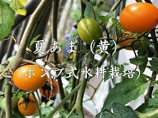 夏あま、黄色 、ミニトマト、 cherry tomatoes、サントリー本気野菜、