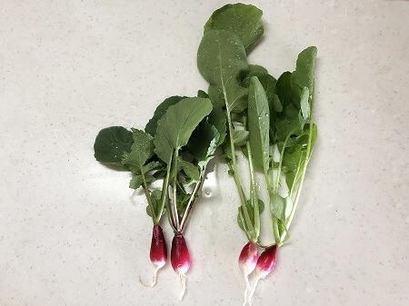ラディッシュ  二十日大根 水耕栽培 栽培 葉っぱ 栽培