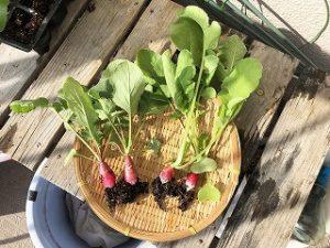 ラディッシュ 二十日大根 水耕栽培 葉っぱ 栽培