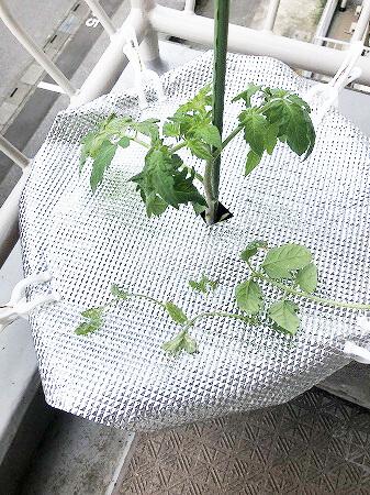 桃太郎EX 桃太郎 トマト 栽培 土壌式水耕栽培 甘いトマト  育て方 Tomato