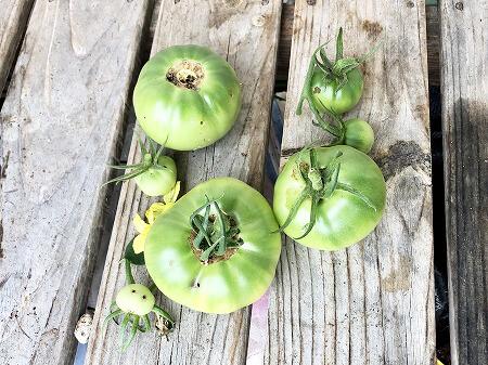 桃太郎EX 桃太郎 トマト 栽培 土壌式水耕栽培 甘いトマト オオタバコガ 育て方 Tomato