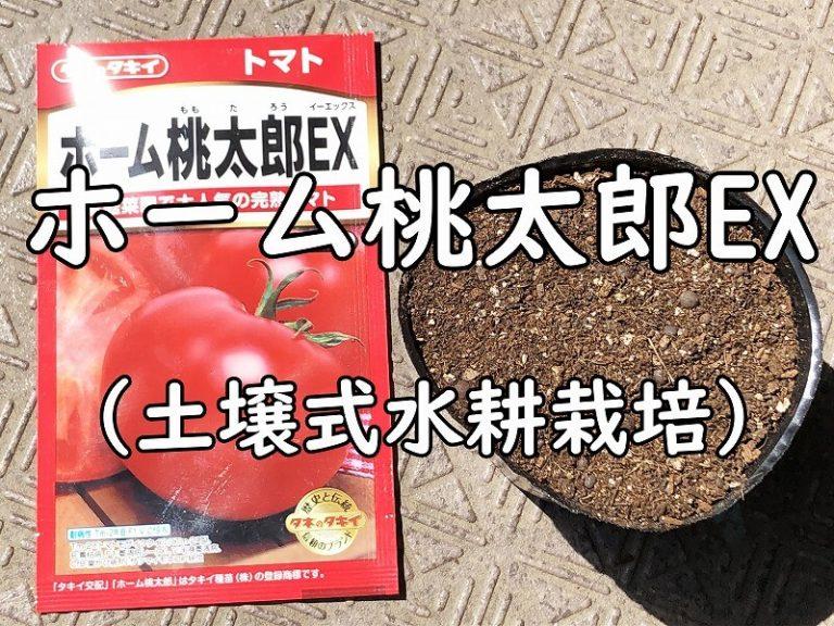 ホーム桃太郎EX (土壌式水耕栽培)(トマト)     tomato