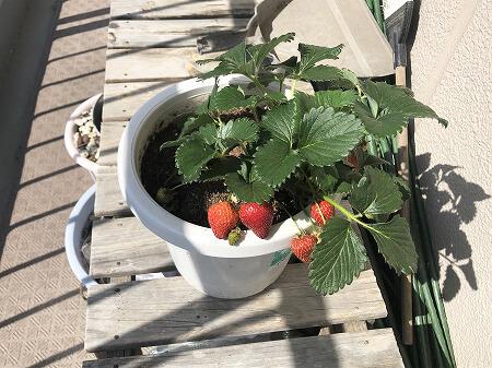 イチゴ Strawberry 種まき 苺を種から