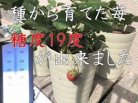 イチゴ 種 育てる Strawberry  From seeds